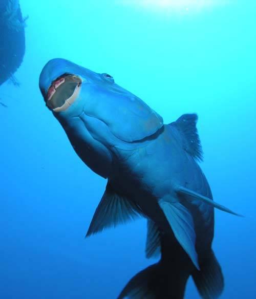 blue_parrotfish_stomach_500px.jpg
