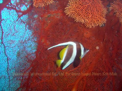 koh_mak_underwater_fish04.jpg