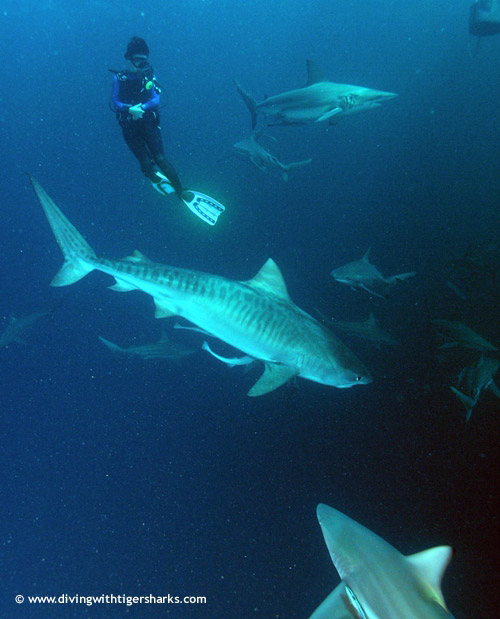 whole_group_of_tigersharks.jpg