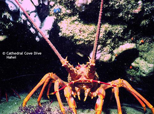 crayfish_hahei.jpg