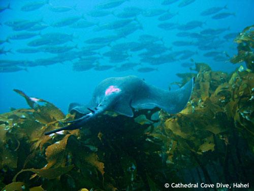 josh_stingray_green_kelp.jpg