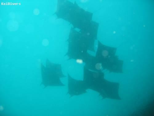 15_mantas_bij_de_eerste_duik.jpg