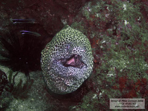 fahal_shallow_bay_moray_biting.jpg
