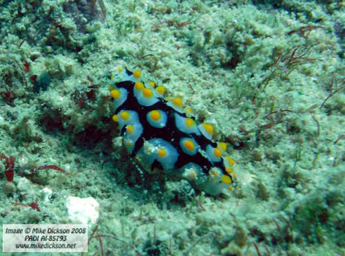 nudibranch_fahal_island.jpg