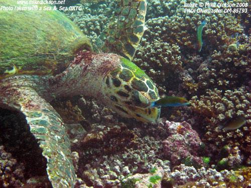 turtle_nibling_coral.jpg