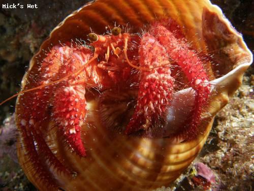 red_hermit_crab_sponge_garden.jpg
