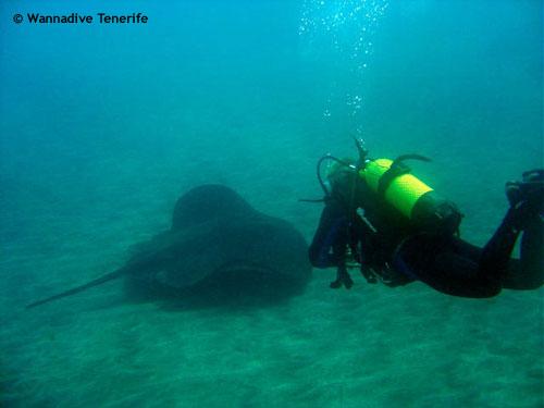 diver_following_atlantic_ray.jpg