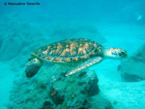 puertito_green_turtle.jpg
