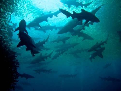 sharks_2015.jpg