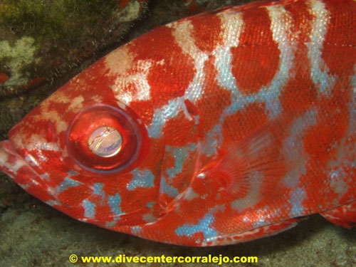 red_fish_el_calamareo.jpg