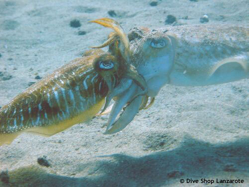 two_cuttlefish_in_love.jpg