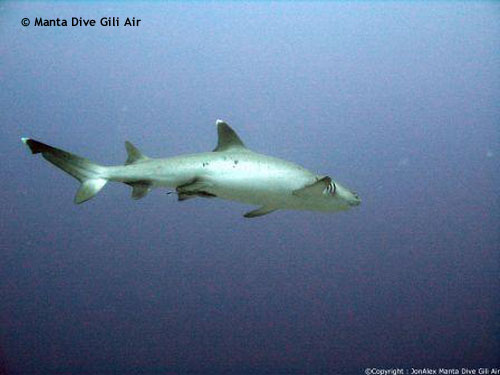 huge_whitetip_reef_shark_shark_point.jpg