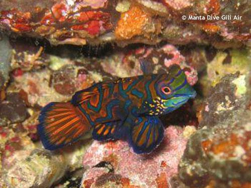 mandarin_fish_hans_reef.jpg