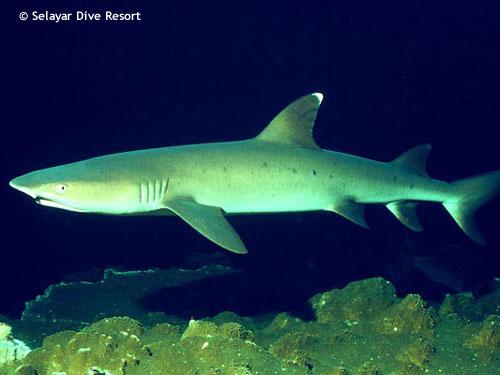 whitetip_reef_shark_night_dive.jpg