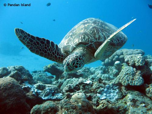 turtle_pandan_island.jpg