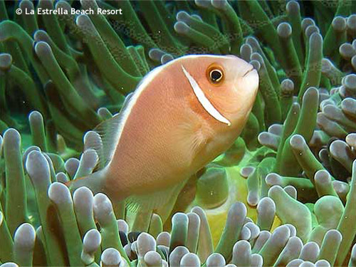 clownfish_in_brilliant_green_anemone.jpg