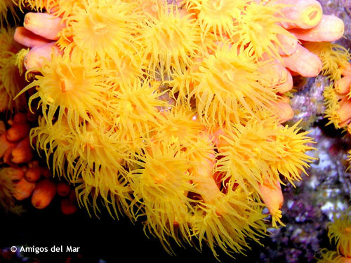 yellow_cup_coral.jpg