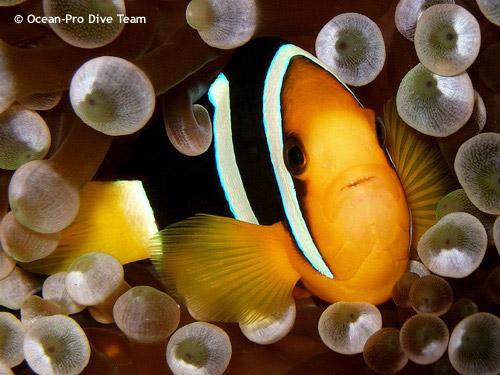 clownfish_closeup_anemone.jpg