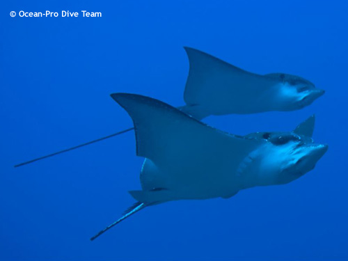 copple_of_eagle_rays.jpg