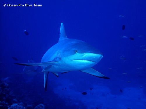 grey_reef_shark.jpg