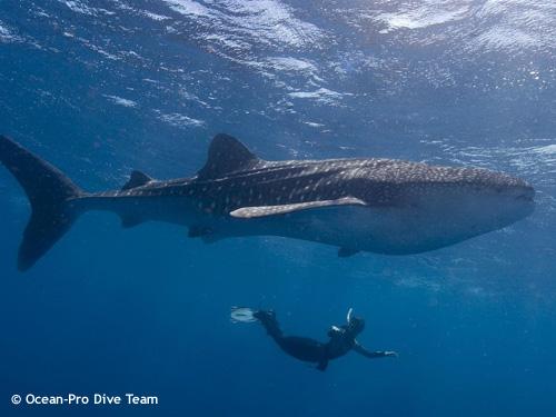 snorkeller_and_whaleshark.jpg