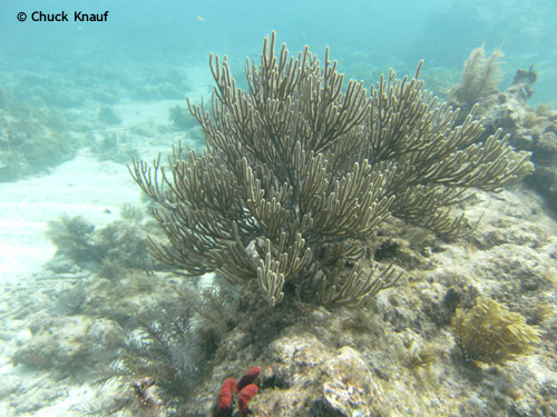coral_elbow_reef_key_largo.jpg