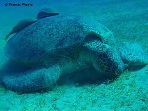 marsa_alam_turtle.jpg