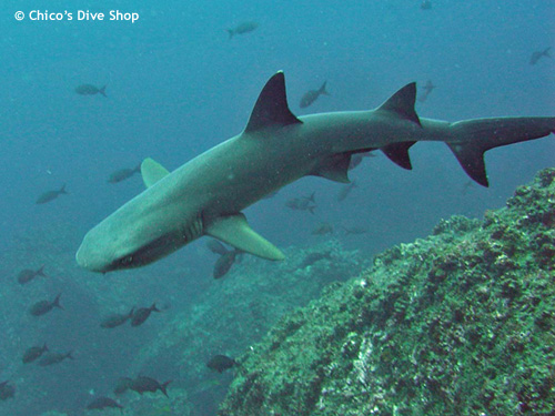 whitetip_reef_shark_mexico.jpg