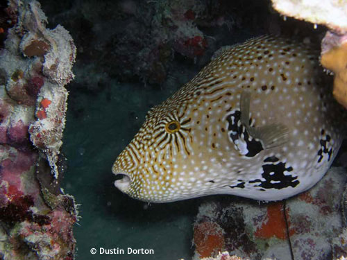 puffer_fish_majuro_lagoon.jpg