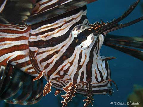 lionfish_curious_but_ignorant.jpg