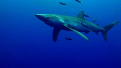 condor_shark.jpg
