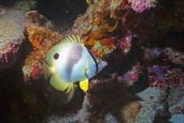 <p>This is a fairly common Banded Butterfly fish.  I have been impressed by the size the tropicals reach in the Cayman Islands</p>