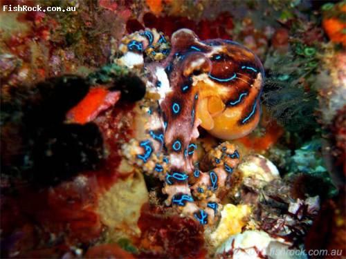 blue_ringed_octopus.jpg