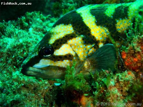 fish_black_yellow_blue_spot.jpg