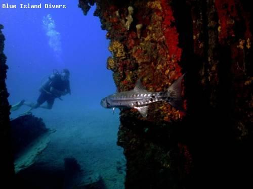 escaping_barracuda_dive.jpg