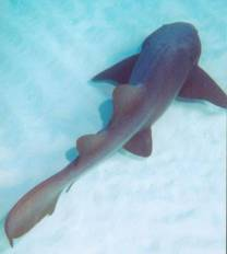<p>Nurse Shark at Shark and Ray Alley, near Ambergris Caye, Belize and Cayo Espanto Island Resort</p>