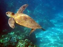 <p>Loggerhead Turtle at Hol Chan Canyons Marine Reserve, near Ambergris Caye, Belize and Cayo Espanto Island Resort</p>