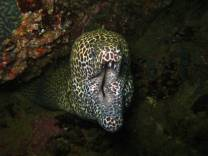 <p>Giant honeycomb moray eel in Oman</p>