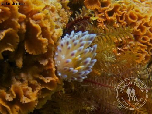 gasflame_nudibranch_coral_gardens.jpg