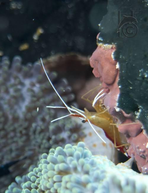 shrimp_bunaken.jpg