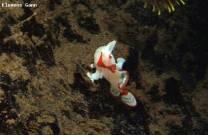 <p>tiny clown frogfish found at ginama point</p>