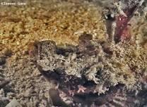 <p>devilfish found at moalboal bay</p>