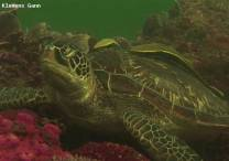 <p>green turtle relaxing on coral block</p>