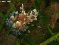 <p>one of the most beautiful shrimp the ocean has to offer</p>