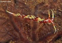 <p>nudibranch at ginama point</p>