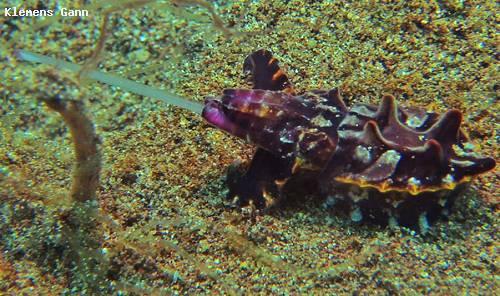 flamboyant_cuttlefish_feeding.jpg