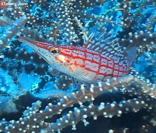 longnose_hawkfish.jpg