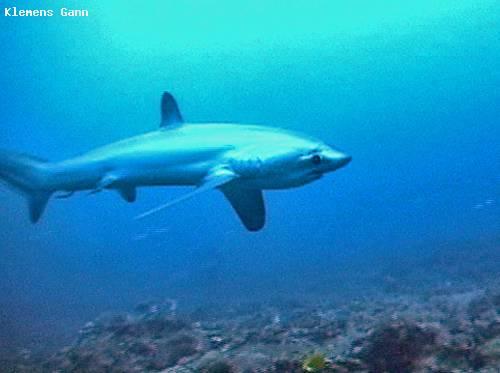 thresher_shark_profile.jpg