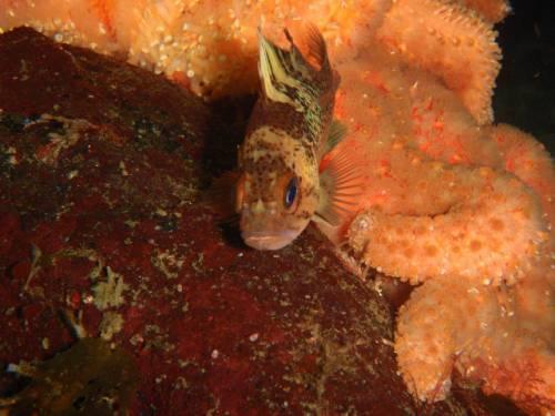 copperrockfish001.jpg