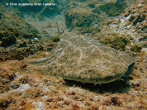 angelshark_at_reef_top.jpg